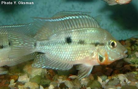 Фото аквариумов с цихлазома