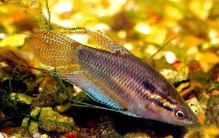 рыбки гурами ворчащие фото