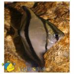 Монодактил темный, Полосатая ласточка (Monodactylus sebae, Psettus sebae), L